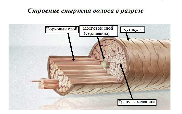Строение стержня волос